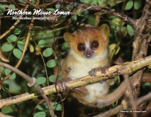 Primate Connections mouse lemur