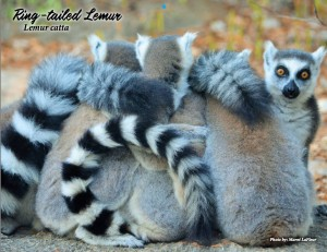 primate connections - ringtail